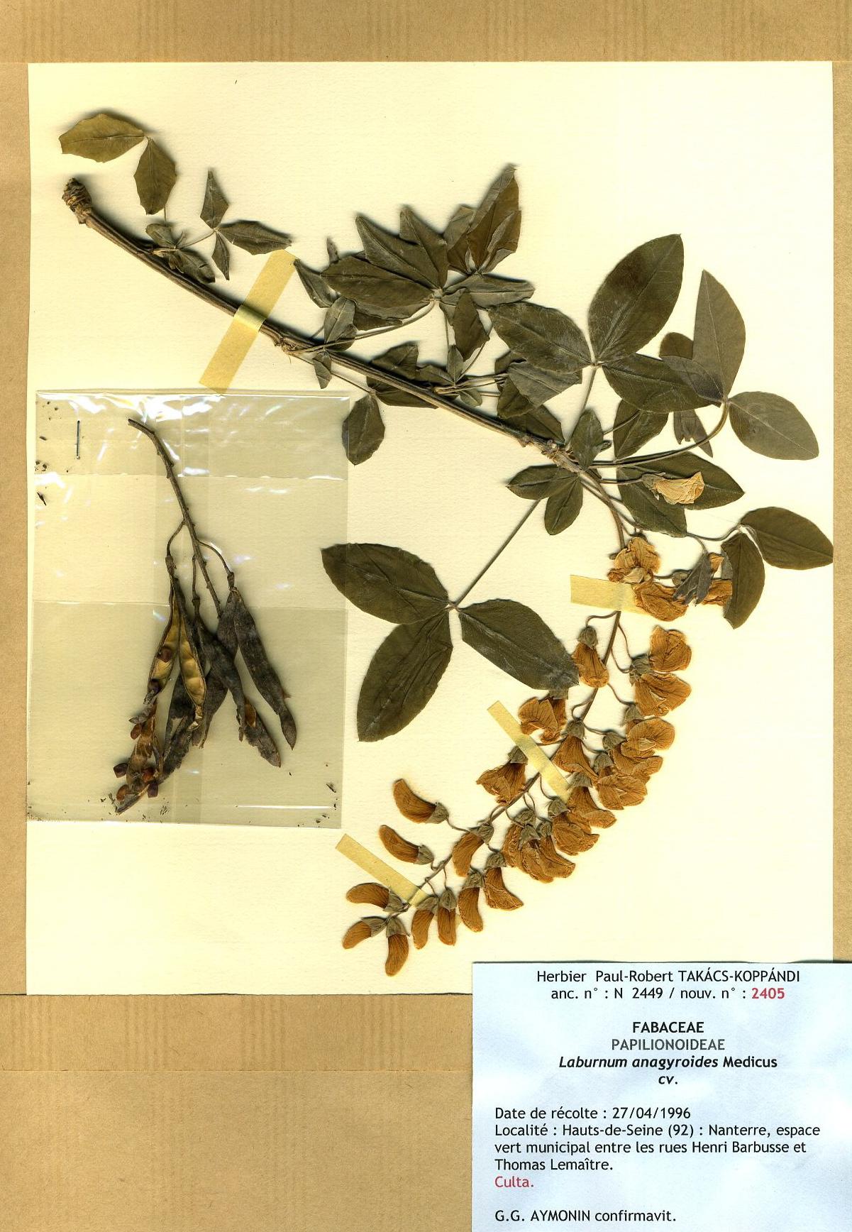 199827avrilnanterrehautsdeseinelaburnumanagyroidesfabaceae013.jpg