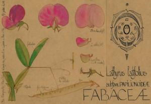 Lathyrus latifolius (dessin Paul-Robert TAKACS)