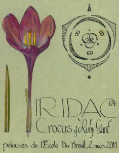Crocus cf. 'Ruby Giant' (dessin Paul-Robert TAKACS)