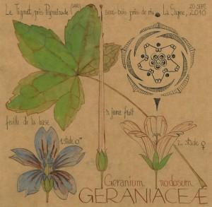 Geranium nodosum (dessin Paul-Robert TAKACS)