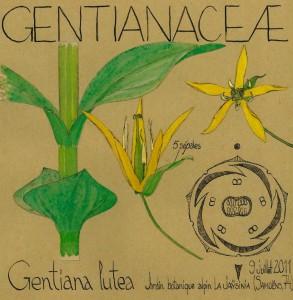 Gentiana lutea (dessin Paul-Robert TAKACS)