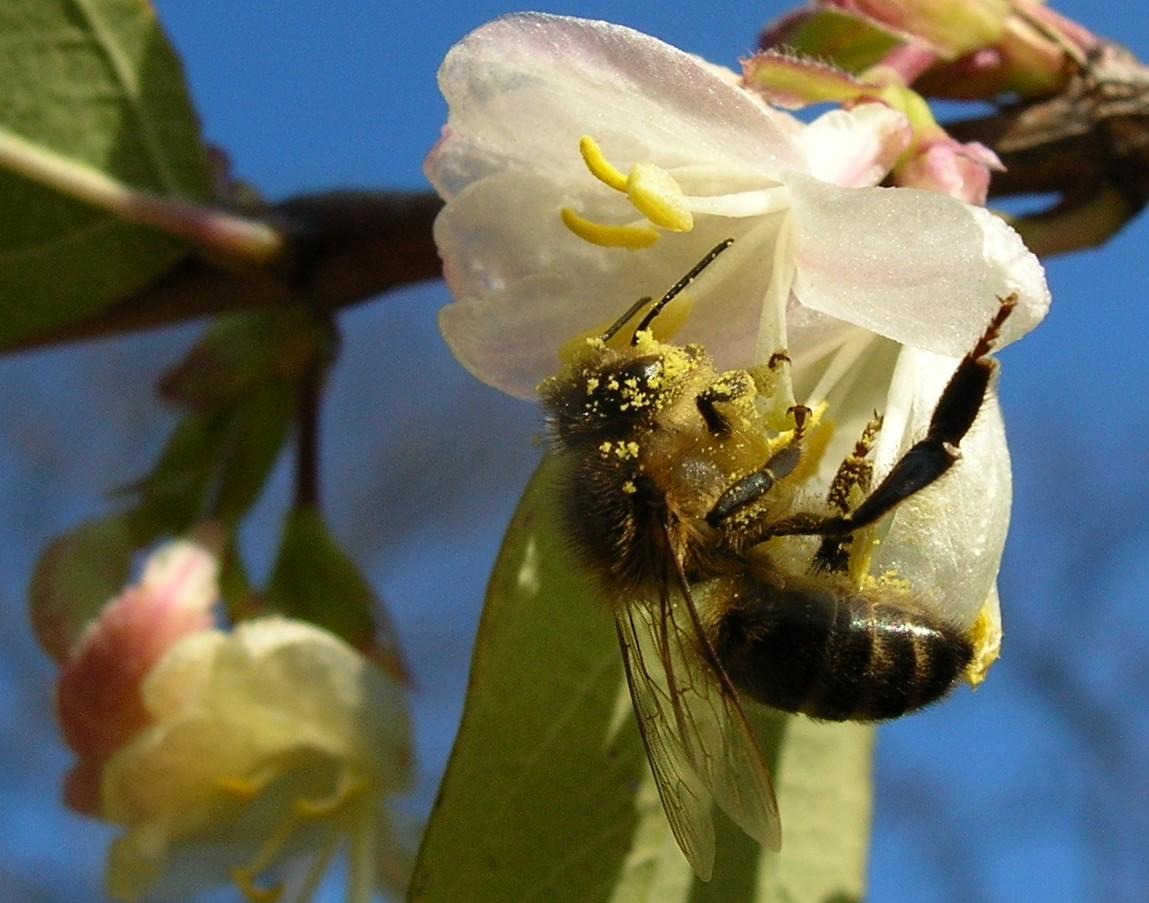 abeillecroulantsouslepollen.jpg