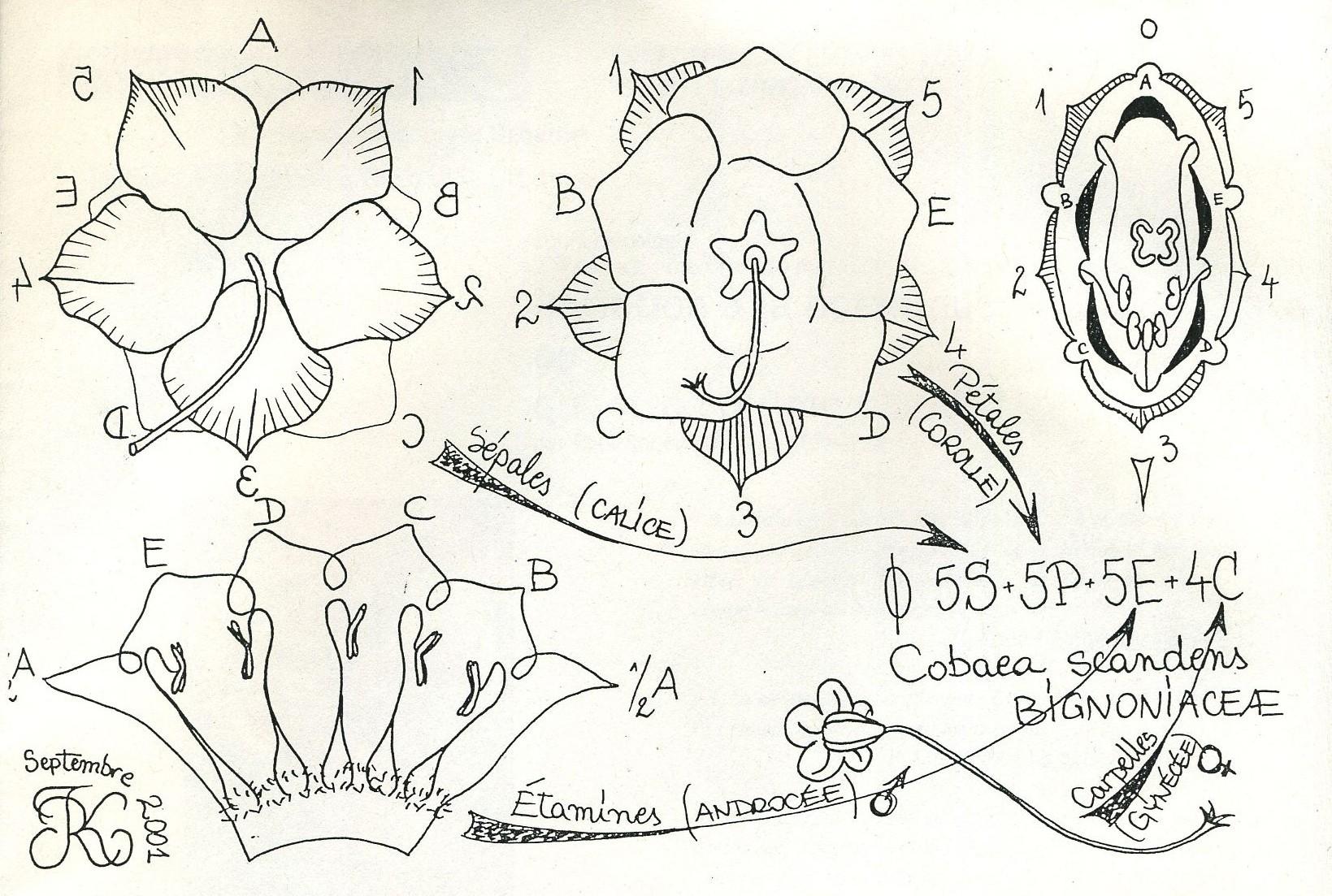 diagrammeformulefloralecobaea1.jpg