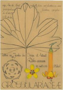 Ribes aureum (dessin Paul-Robert TAKACS)