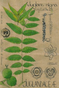 Juglans nigra (dessin Paul-Robert TAKACS)