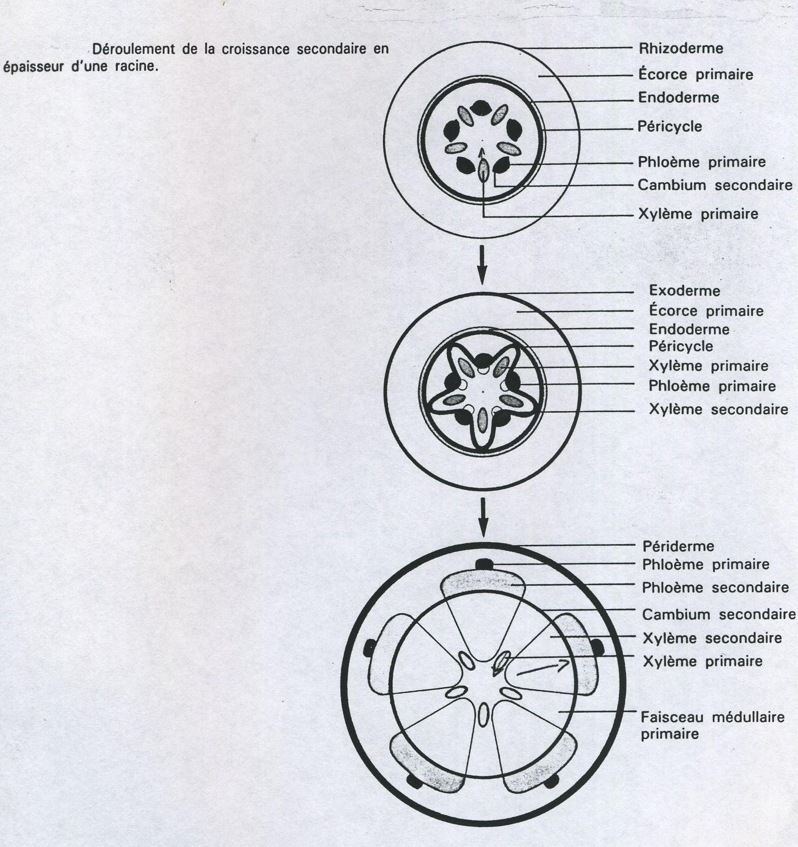 laracinecroissancesecondaireschmaslgends039.jpg