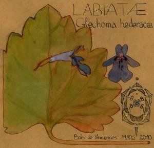 Glechoma hederacea (dessin Paul-Robert TAKACS)