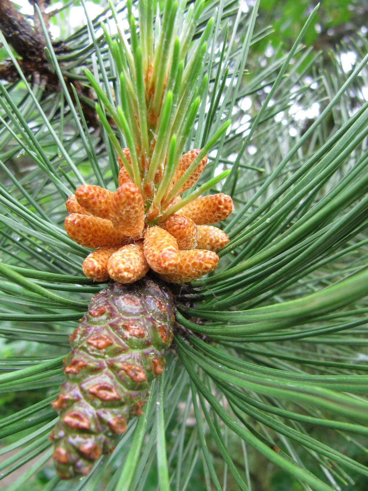 cônes mâles et femelles de Pinus nigra PINACEES (mai 2010)