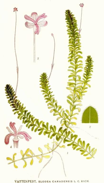 elodeacanadensisplante.jpg