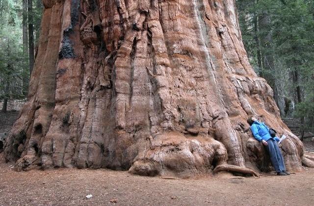 sequoiadendrongiganteum.jpg
