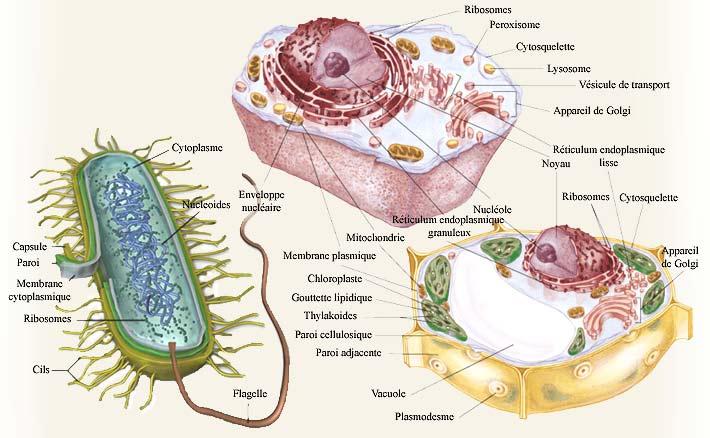 Cellulestypes