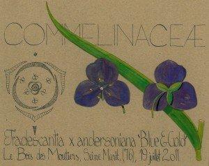 Tradescantia x andersoniana 'Blue & Gold' (dessin Paul-Robert TAKACS)