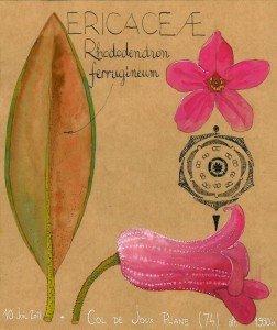 Rhododendron ferrugineum (dessin Paul-Robert TAKACS)