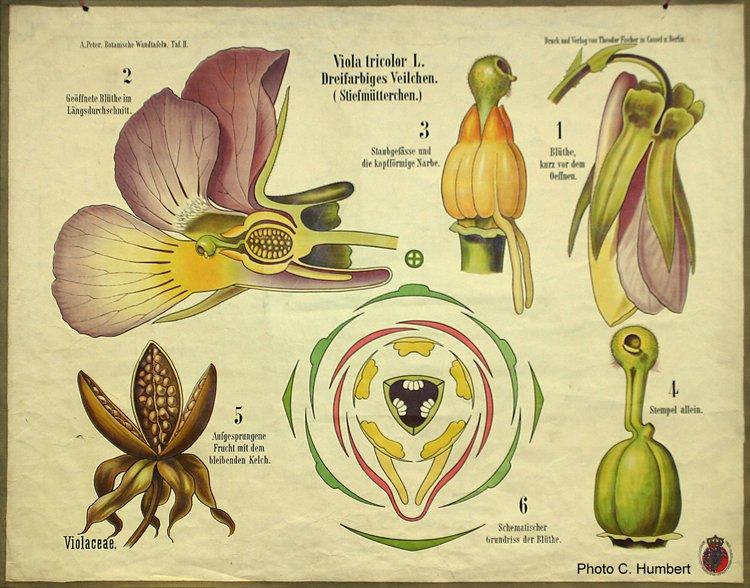 peter02violaceae.jpg