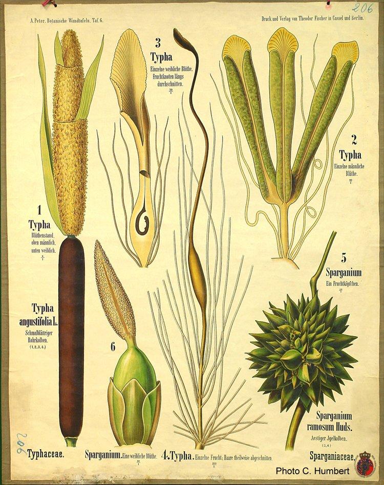 peter06typhaceae.jpg