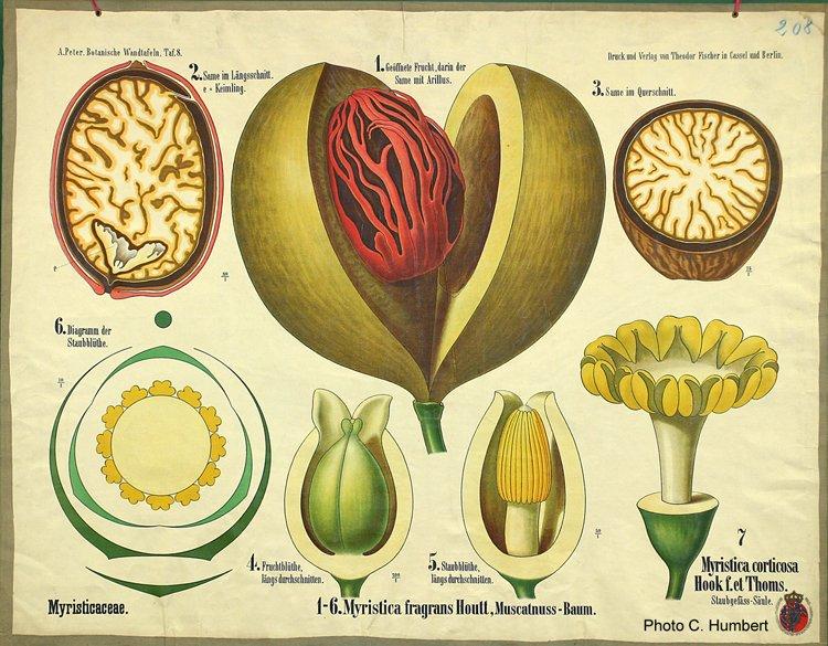 peter08salicaceae.jpg
