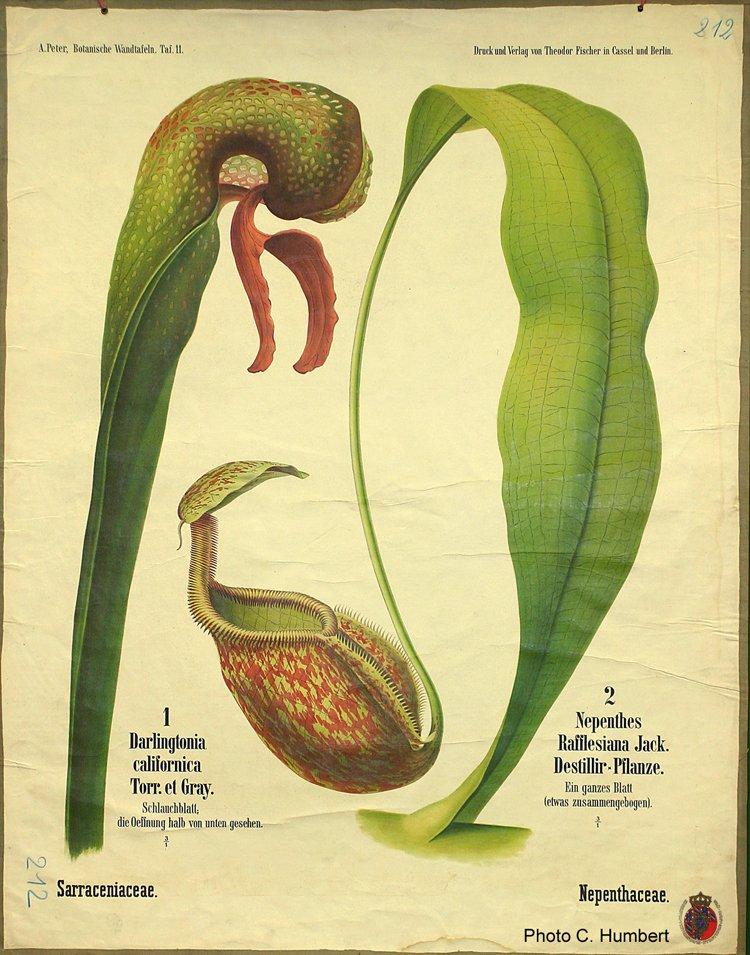 peter11sarraceniaceae.jpg