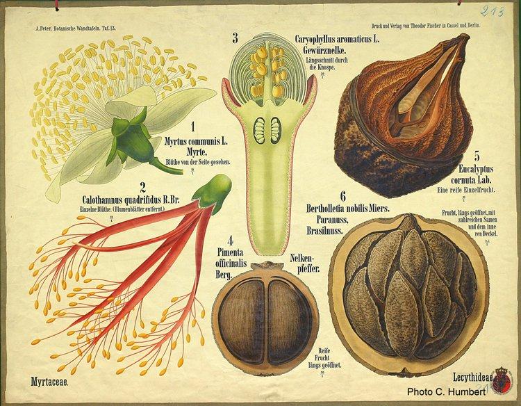 peter13myrtaceae.jpg