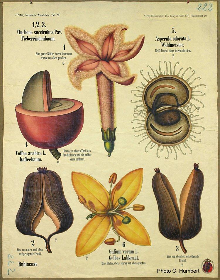 peter22rubiaceae.jpg