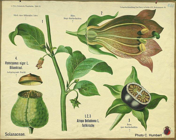 peter23solanaceae.jpg