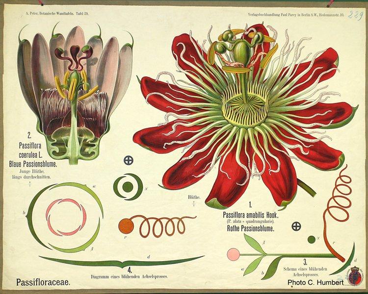 peter29passifloraceae.jpg