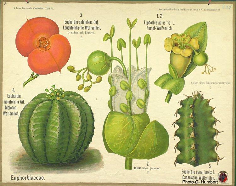 peter31euphorbiaceae.jpg