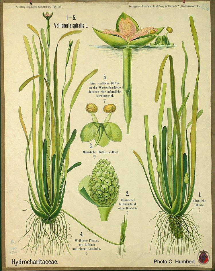 peter34hydrocharitaceae.jpg