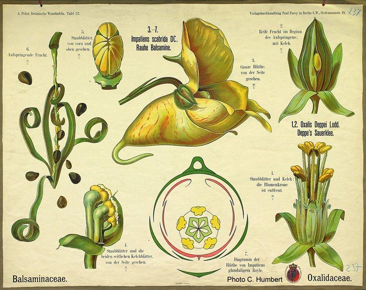 peter37balsaminaceae.jpg