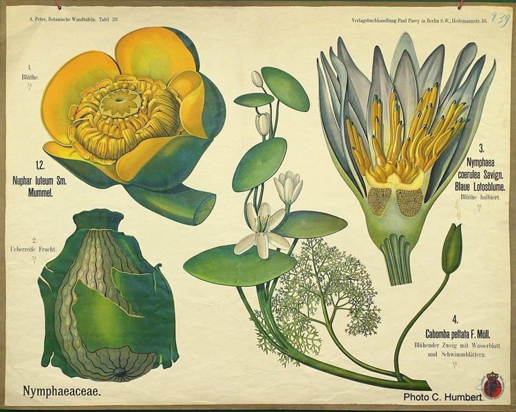 peter39nymphaeaceae.jpg