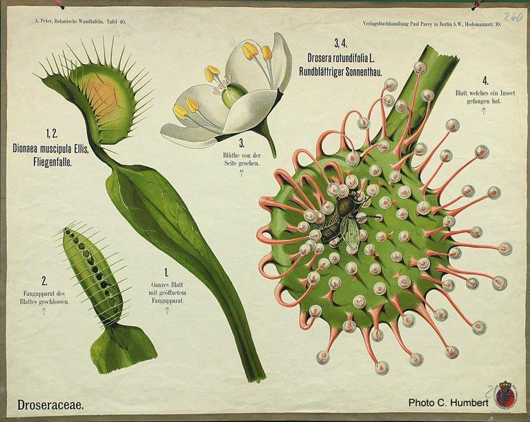 peter40droseraceae.jpg