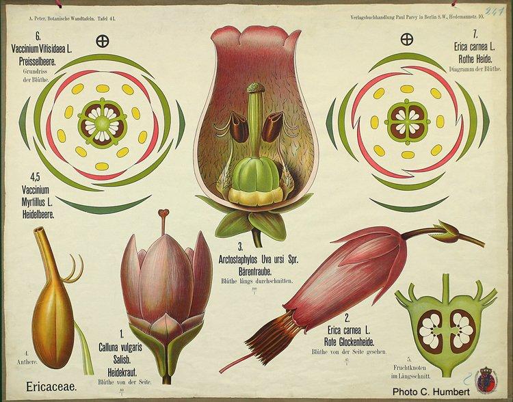 peter41ericaceae.jpg