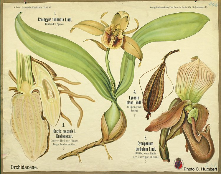 peter46orchidaceae.jpg