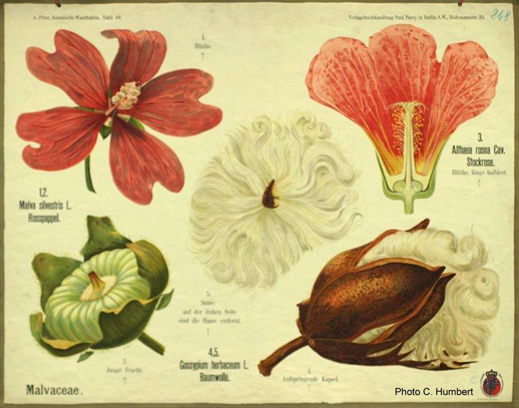 peter48malvaceae.jpg