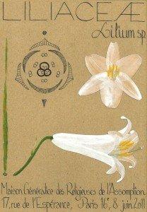 Le Lis de la Madone (Lilium candidum, LILIACEAE), plante estivale vivace par son bulbe (dessin Paul-Robert TAKACS)