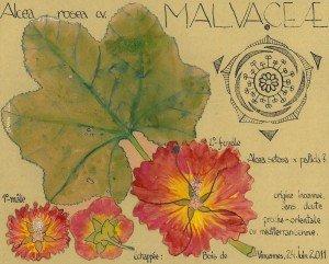 Rose Trémière (Alcea rosea, MALVACEAE), bisannuelle qui, comme plusieurs, vire vivace si elle se trouve bien là où elle a été plantée (dessin Paul-Robert TAKACS)