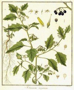 DESCRIPTION & DÉTERMINATION DE SOLANUM NIGRUM (SOLANACÉES) dans 09. MORPHOLOGIE VÉGÉTALE 24378.Solanum_nigrum-246x300