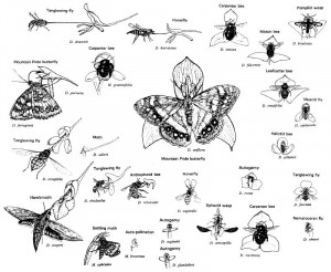 COEVOLUTION PLANTES / ANIMAUX POLLINISATEURS : l'exemple des Orchidées dans 1. aux agents de la pollinisation orchidac%C3%A9es-co%C3%A9volution-pollinisateurs-300x246