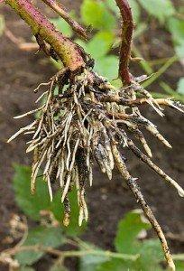 LA RONCE PRÉPARE SES MARCOTTES dans 2. arbustes : chamaephytes ronce-marcotte-204x300