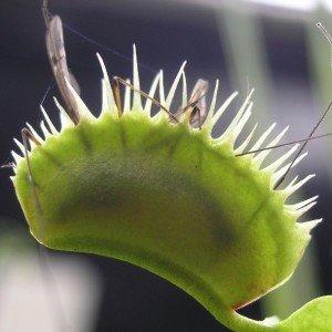 À QUOI SERT D'ÊTRE CARNIVORE ? dans 2. aux conditions trophiques Dionaea-muscipula1-300x300