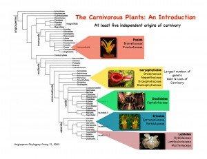 CONVERGENCES ÉVOLUTIVES : l'exemple des plantes carnivores dans 2. aux conditions trophiques Renner_Figure1-300x231