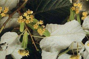 Tilia tomentosa : tueur de bourdons ? dans 1. aux agents de la pollinisation tilia_tomentosa_20-300x200