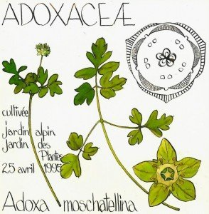 Adoxa moschatellina, ADOXACEAE - dessin Paul-Robert TAKACS