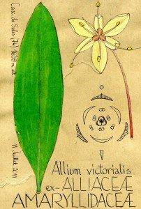 Allium victorialis, AMARYLLIDACEAE s.l., ex-ALLIACEAE - dessin Paul-Robert TAKACS