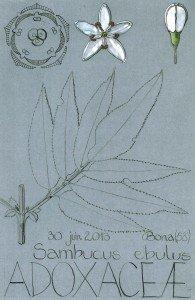 Sambucus ebulus (dessin Paul-Robert TAKACS)