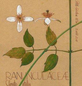 Clématite vigne-blanche (Clematis vitalba, RANUNCULACEAE) dessin Paul-Robert TAKACS