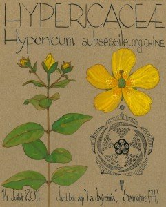 Hypericum subsessile (dessin Paul-Robert TAKACS)