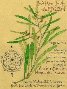 Le Mimosa, Acacia dealbata (FABACEAE) : plante invasive en Provence (dessin Paul-Robert TAKACS)