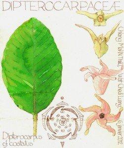 Dipterocarpus cf. costatus (dessin Paul-Robert TAKACS)
