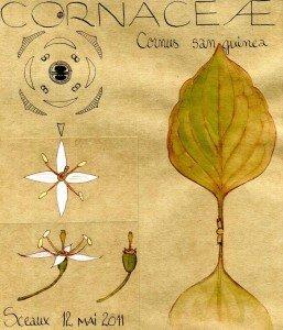 Cornus sanguinea (dessin Paul-Robert TAKACS)