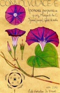 Ipomoea purpurea cv. (dessin Paul-Robert TAKACS)